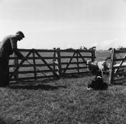 Sheep dog Dyffryn/Baby Betty Bala/Girls on bridge thumbnail